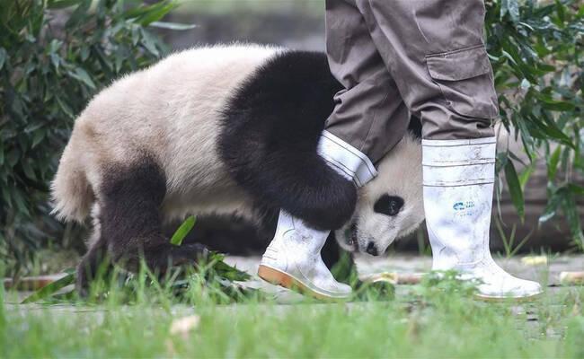 """四川卧龙震后,""""熊猫王国""""里的滚滚还好吗?"""
