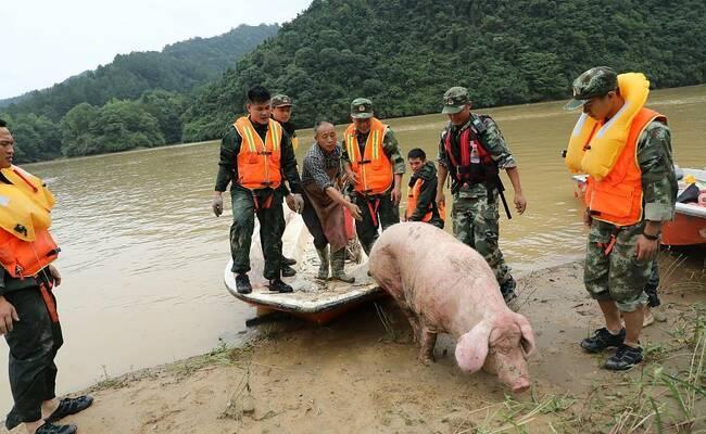 母猪被山洪冲到下游20公里处 奇迹生还