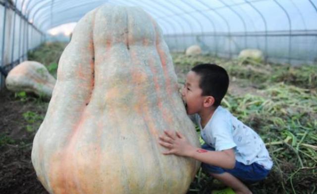 阜阳560斤巨型南瓜亮相 引市民围观|组图