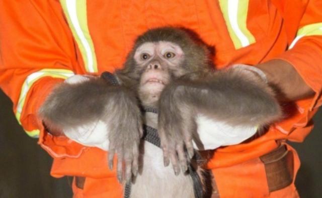 猴子闯入居民小区 被消防战士带走