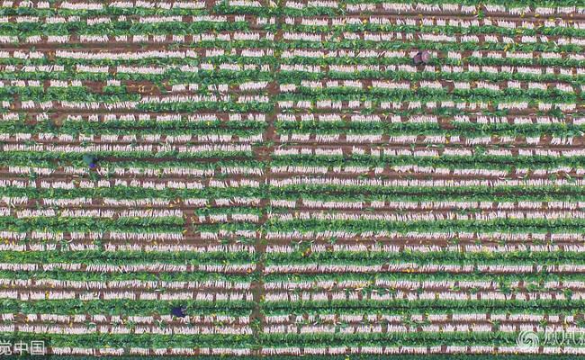 湖南衡阳:3300亩白萝卜收获