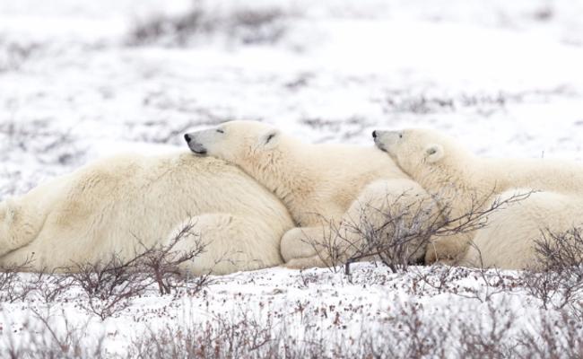 北极熊母子凹造型取暖