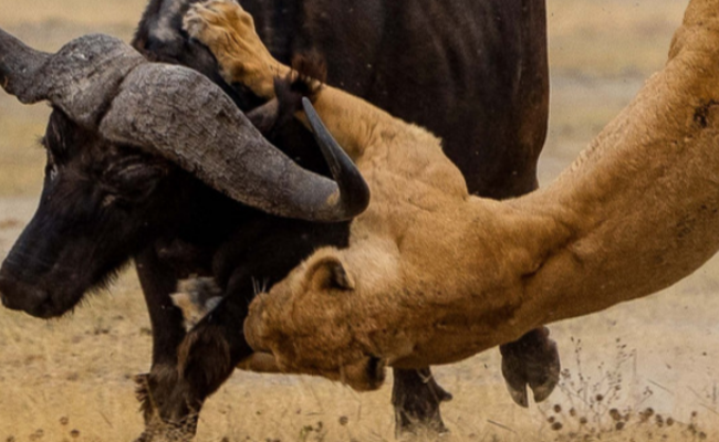 水牛被母狮抓住