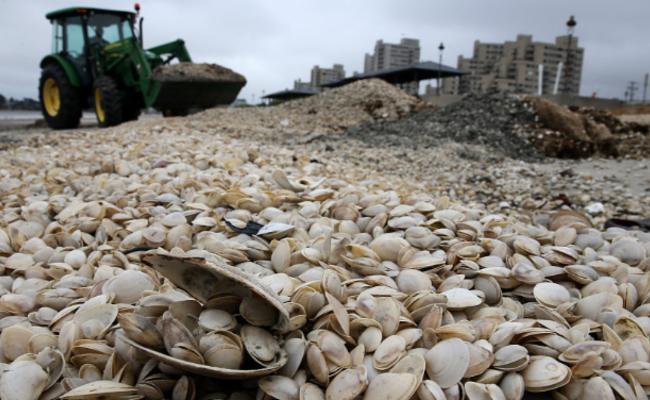 蛤蜊在海滩上堆积成山