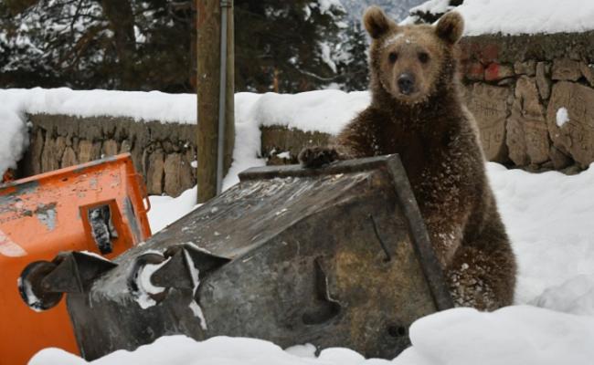 饿到睡不着?小棕熊闯入居民区翻垃圾