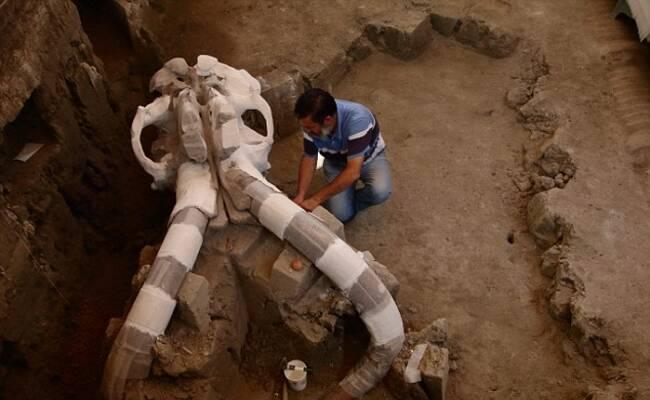 墨西哥现1.4万年前长毛象尸骨