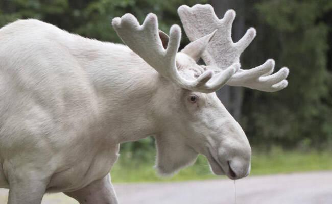 罕见白色麋鹿攻击居民  网友请愿不要伤害它
