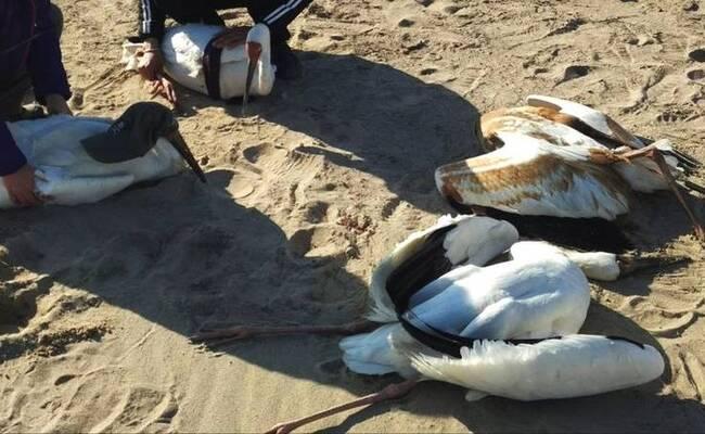 国宝白鹤遭猎杀 专案组联合缉凶