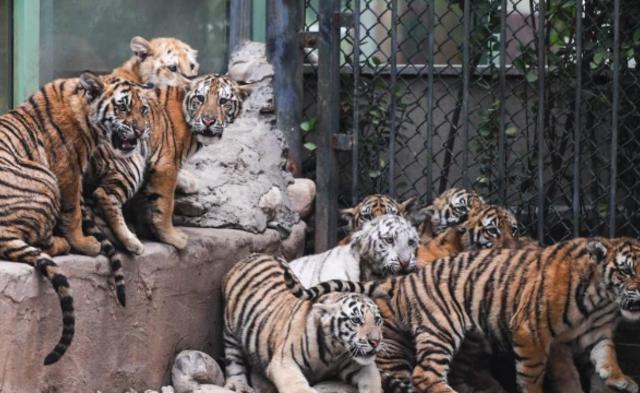 济南野生动物世界12只小老虎集体亮相|组图