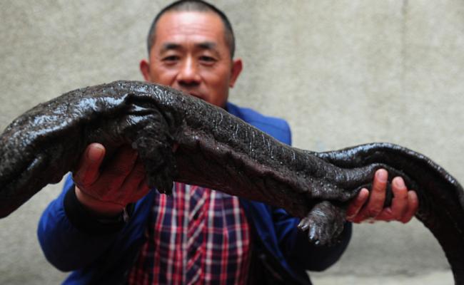 安徽渔民捕获超大型娃娃鱼:至少15岁