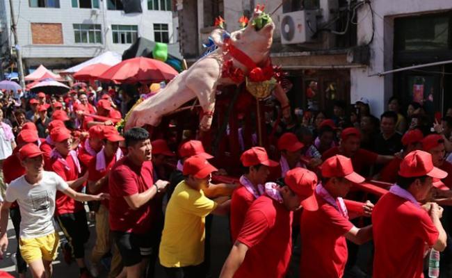 浙江温州:众人簇拥抬大猪