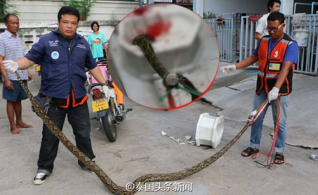 马桶钻出3米蟒蛇 男子下体被严重咬伤