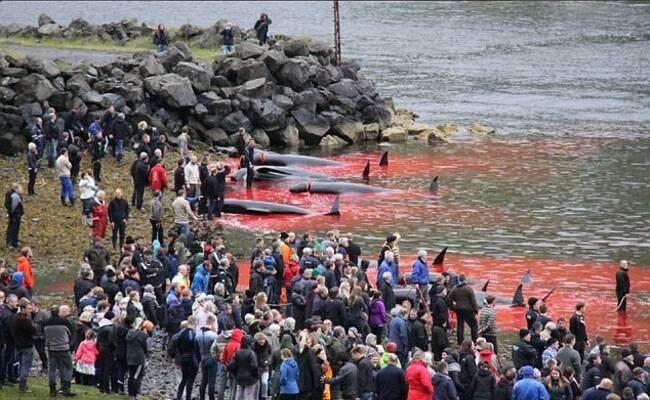 120头领航鲸遭围捕屠杀 鲜血染红大海