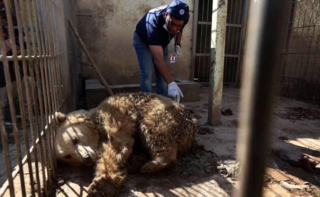 被遗弃的动物园 一狮一熊吃同伴尸体为生