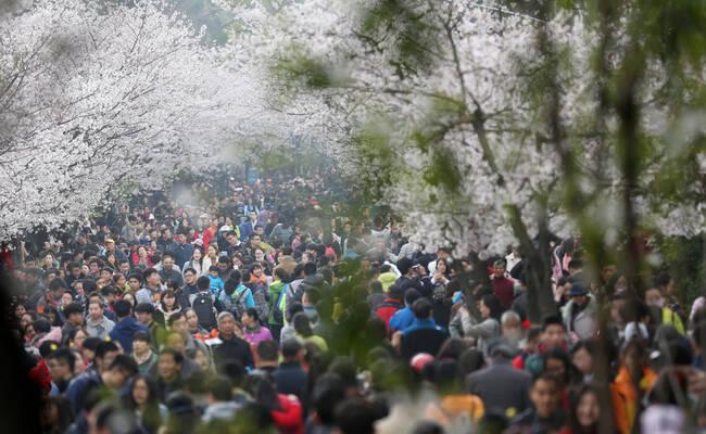 """南京迎来赏樱""""大军"""""""