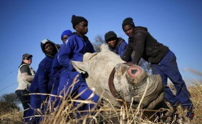 为免遭偷猎者毒手 南非濒危犀牛无奈被锯角