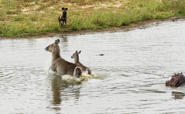 野狗、鳄鱼、河马,羚羊三次逃脱被吃|组图