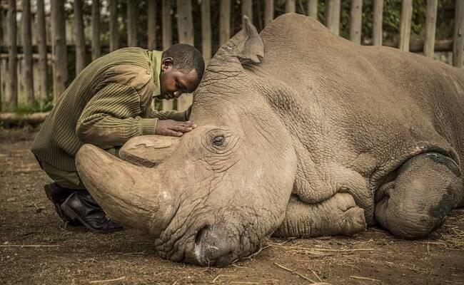世界上最后一头雄性北方白犀牛死亡 物种濒临灭绝