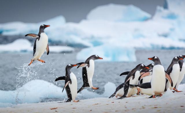 摄影师拍南极企鹅跳高起舞画面丨组图