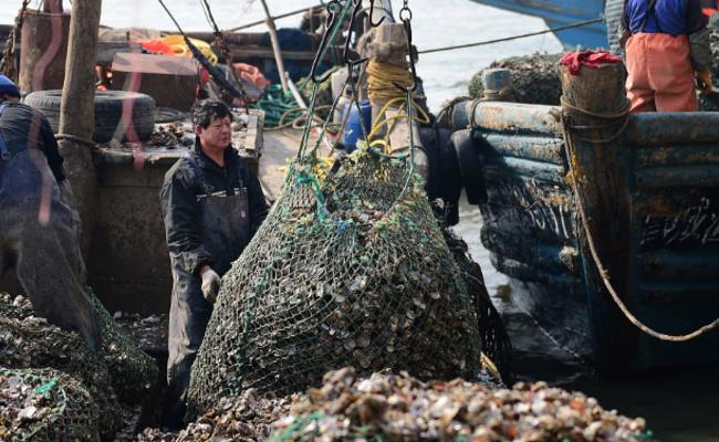胶州湾牡蛎大丰收 2元一斤小贩抢购
