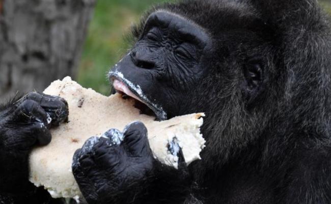 欧洲最老大猩猩61岁生日 狂吃蛋糕