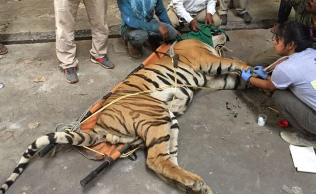 老虎战败后藏旧工厂 2个月后获救
