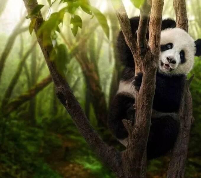 战场归来后,这个男人用25年拍下10000张熊猫,他的熊猫画册成为外交国礼!