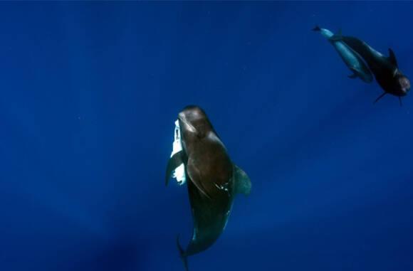 """小鲸鱼因海洋污染死去 母鲸携其尸体几天不忍""""撒手""""(图)"""