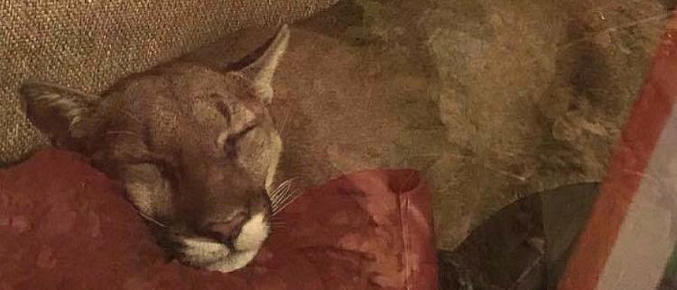 狮子闯民宅后睡着 女主人躲门外6小时
