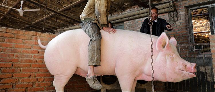 900斤大猪没人敢买