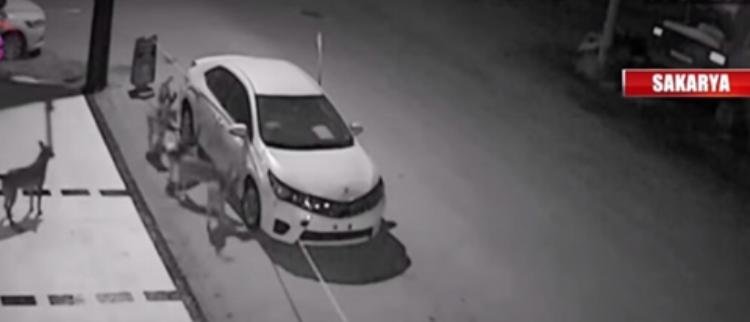 监控拍下群狗撕碎汽车 看熟练度非首次