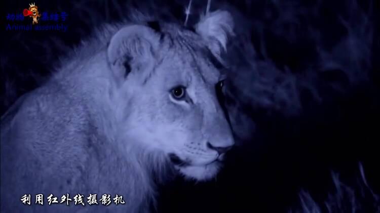 鬣狗群狮口夺食 母狮护子被咬残