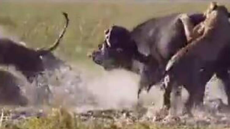 实拍巨型水牛以一挑五 大战饥饿狮子