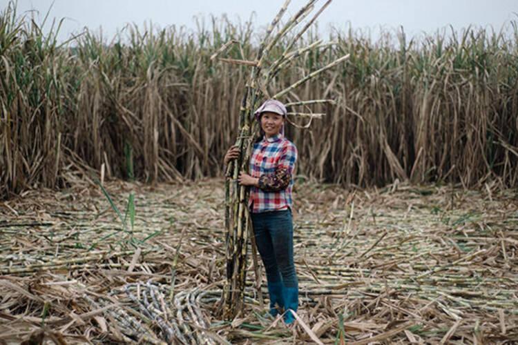 《在人间》第145期:来中国砍甘蔗的越南人