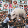 台湾立法院来了一头猪!美猪为啥谁在野