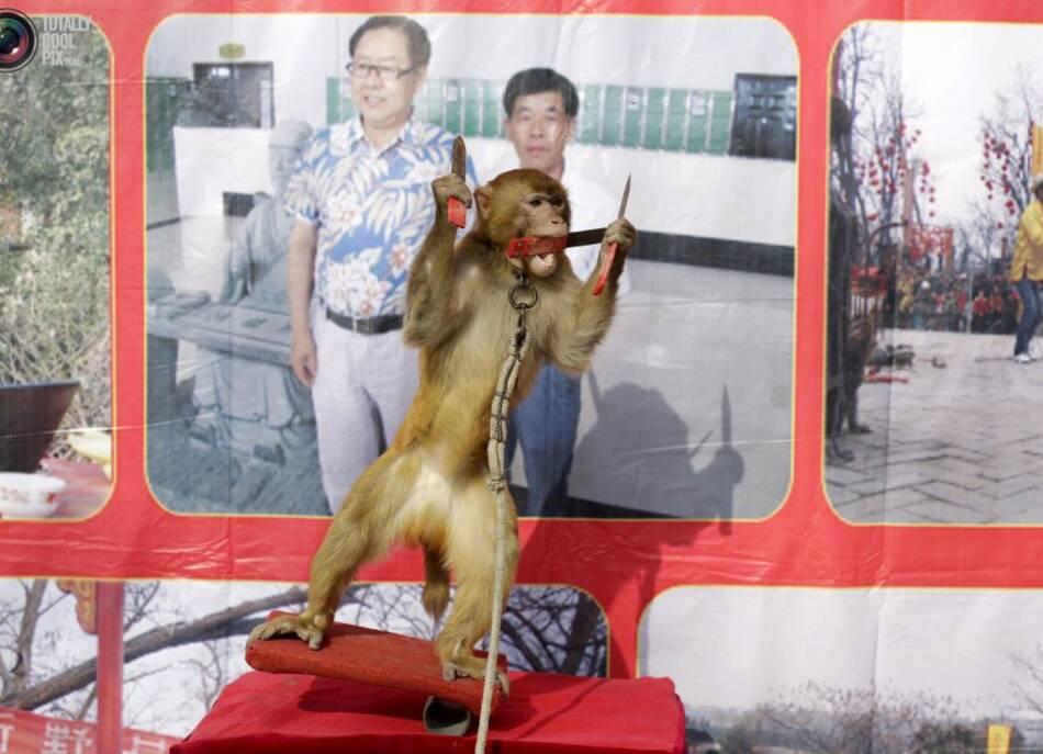 这里的猴子戴着金属项圈,学习骑自行车和踩高跷,一名驯猴人向站在图片