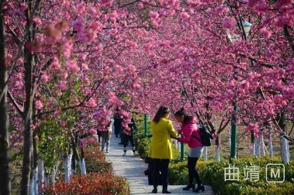 云南省曲靖市馬龍縣櫻花谷:花兒這般美 直把游人醉