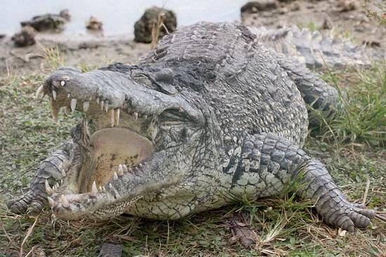 狸和鳄鱼_7岁男孩河边玩耍遭鳄鱼突袭 在父亲眼前被生吞