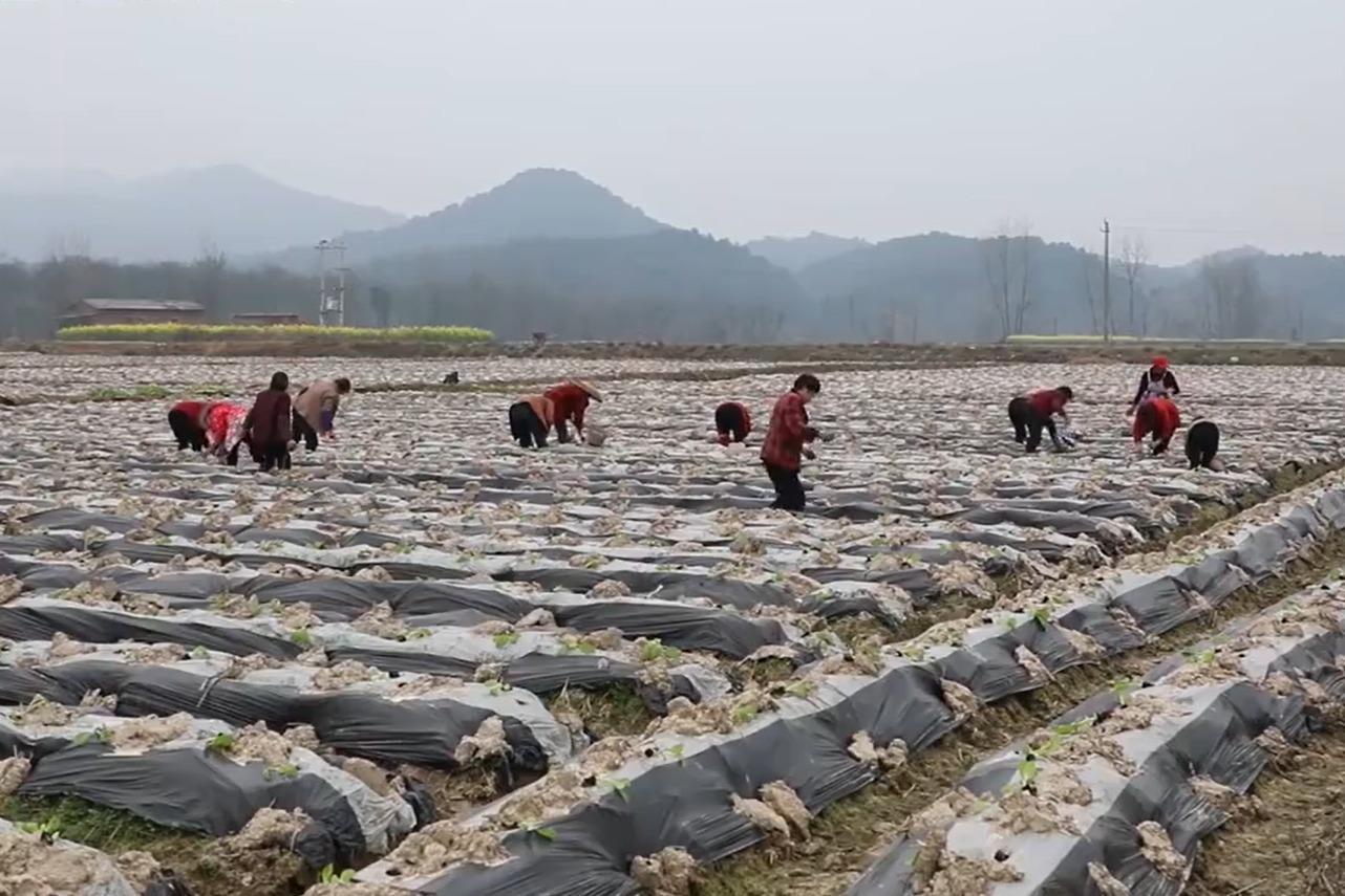 抢抓农时!湖南1.41万亩烟苗实施机械移栽,比人工移栽快3倍