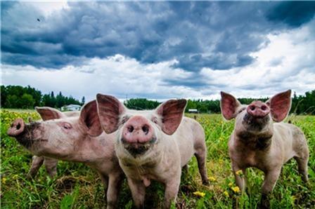 """官方鼓励海外养猪,规模猪场""""独占""""红利?"""