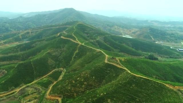 江西湖口:500亩白茶采摘忙