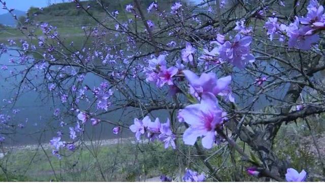 龙山:映水桃花别样红