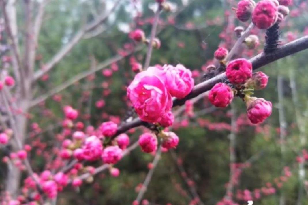 吕梁:春到花草香 桃花灼灼别样红