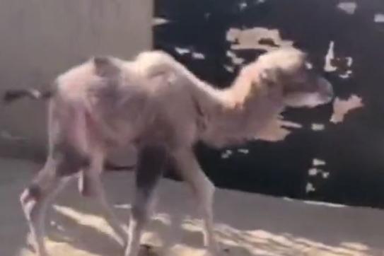 甘肃敦煌救助一只野生小骆驼