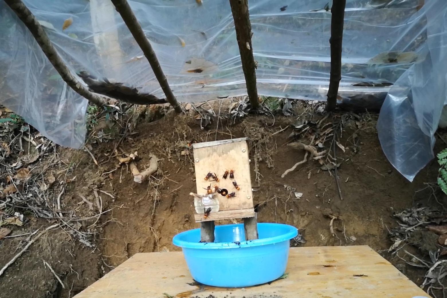 村夫养胡蜂vlog,检查胡蜂红娘养殖情况,放养没喂长势很慢