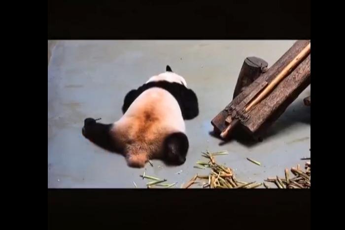 可恶,下辈子我也想投胎成大熊猫
