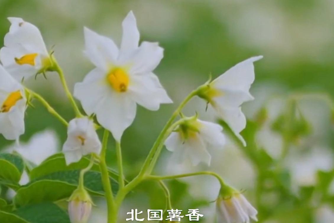 塞北马铃薯区域公用品牌央视宣传片