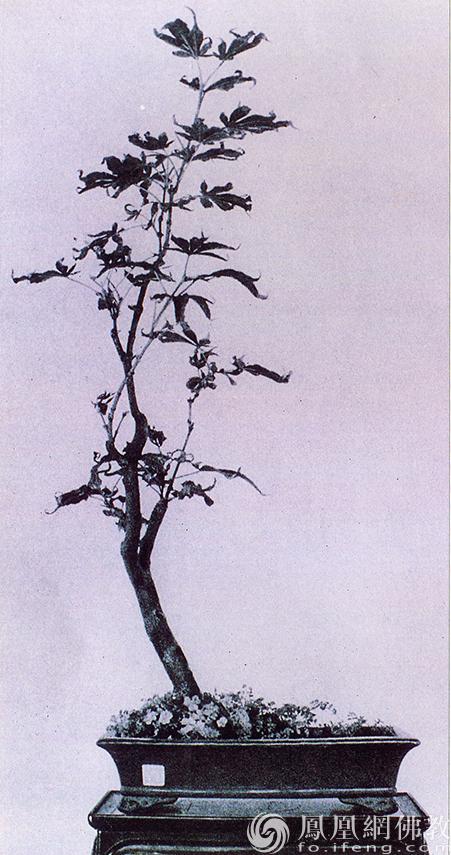品种:红枫。作者:素仁。(图片来源:广州市海幢寺)
