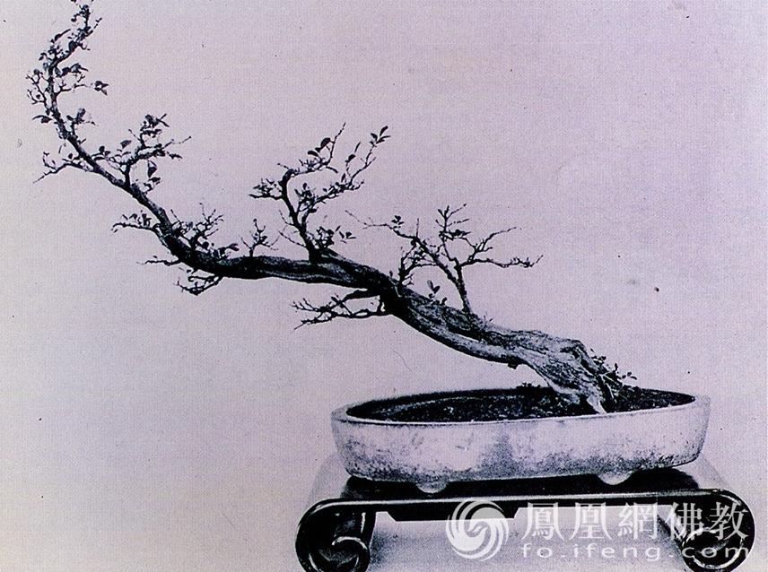 品种:九里香。作者:素仁。(图片来源:广州市海幢寺)
