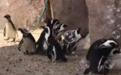 萌翻!一群小企鹅看到泡泡超级兴奋 追着跑开心得像200斤的孩